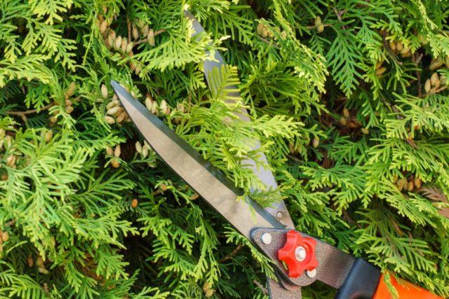Как обрезать и формировать тую весной и осенью: сроки и схема