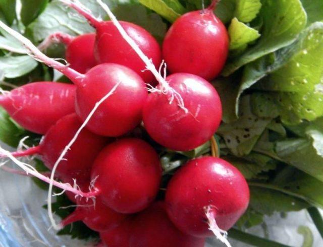 Лучшие семена (сорта) редиса для открытого грунта: для Подмосковья, Сибири, ранние, крупные