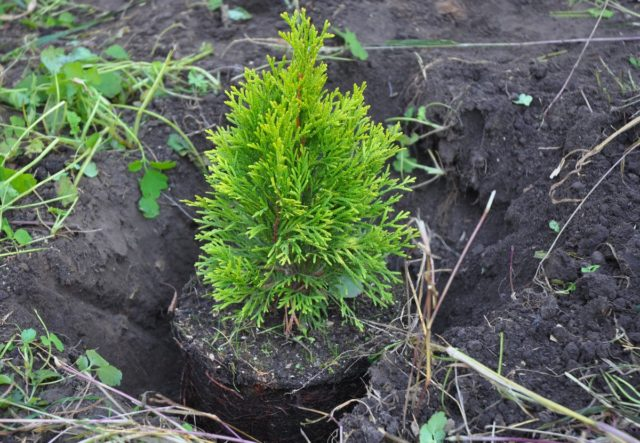 Как посадить тую осенью в открытый грунт, подготовка к зиме