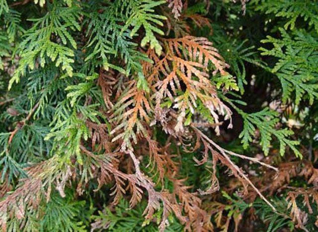 Вредители и болезни туи: чем обработать весной и осенью, фото