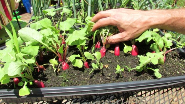 Как вырастить редис на подоконнике в квартире