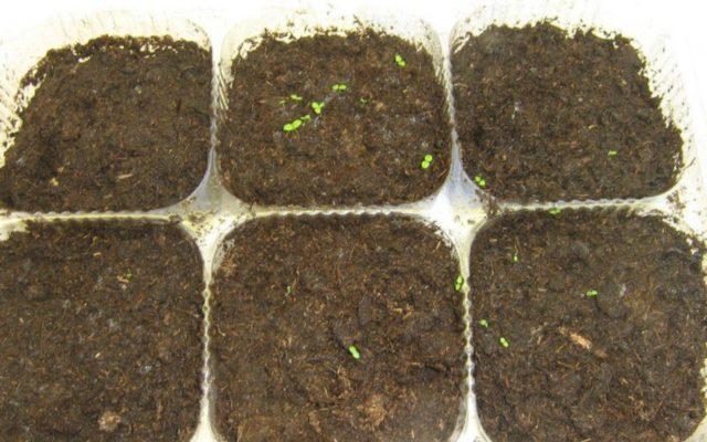 Гейхера: размножение черенками, делением куста, листом