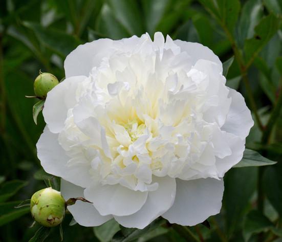 Пион молочноцветковый Дюшес де Немур: описание, отзывы, посадка и уход