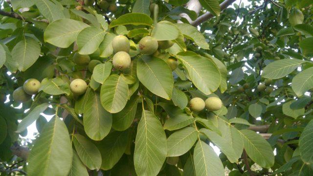 Грецкий орех Идеал: описание, фото, отзывы