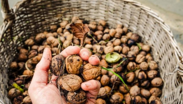 Как хранить грецкие орехи в домашних условиях: правила, сроки и условия хранения
