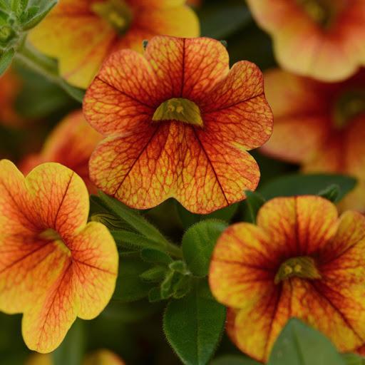 Калиброхия: особенности выращивания и ухода, виды и сорта с фото