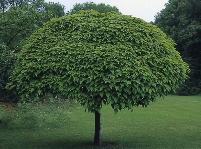 Катальпа дерево фото описание посадка и уход