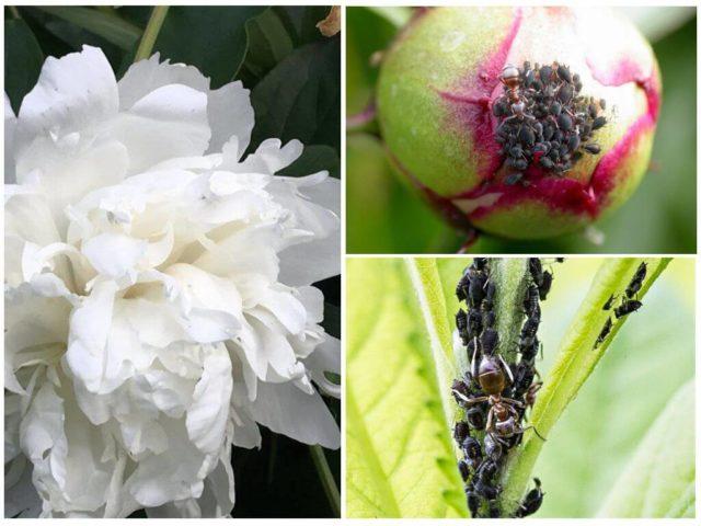 Древовидный пион: сорта, уход и выращивание в Подмосковье