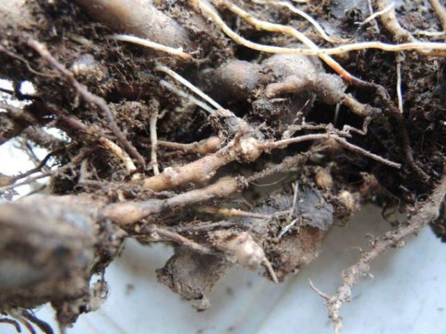 Пион молочноцветковый Фестива Максима: описание, отзывы, посадка и уход