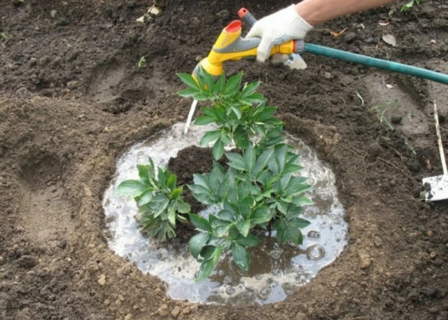 Подкормка пионов после цветения осенью и подготовка к зиме