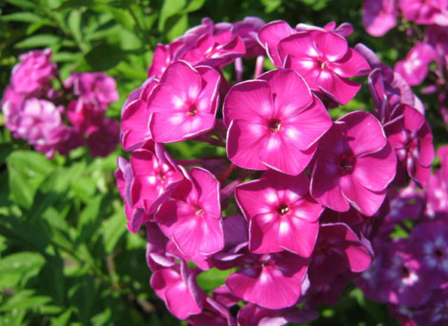 Как размножить многолетние флоксы делением, отводками, семенами