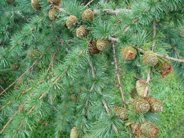 Лиственница сибирская: фото и описание, где и как растет, посадка и уход