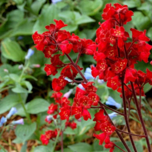 Гейхера кроваво-красная: фото, посадка и уход