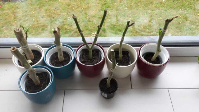 Бругмансия: размножение черенками осенью, весной, фото, видео