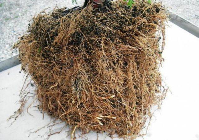 Как размножить можжевельник в домашних условиях: быстрые и легкие способы