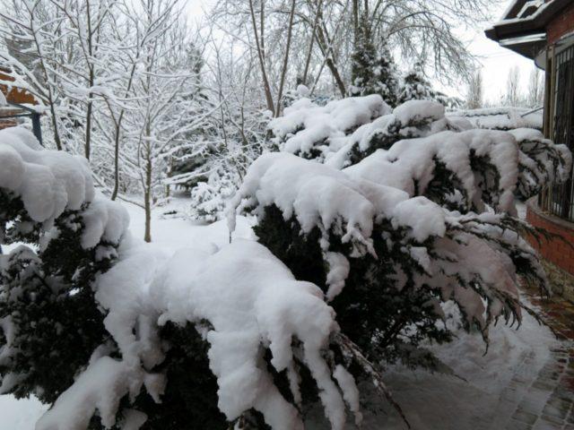 Что такое можжевельник: дерево или кустарник, хвойное или лиственное растение