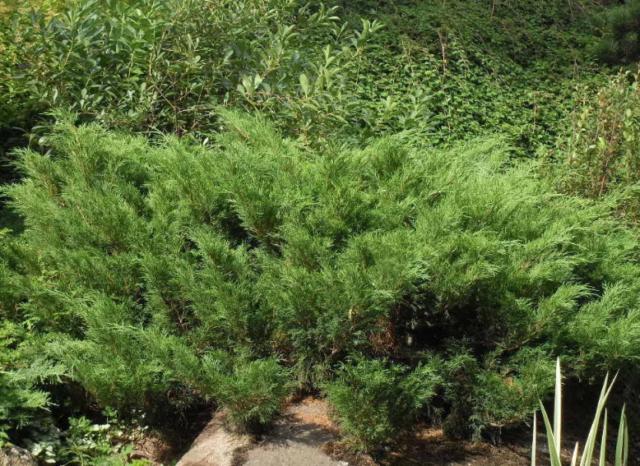 Можжевельник казацкий: фото и описание, посадка и уход, размножение