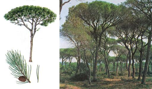 Ель и сосна: отличия по фото и внешнему виду