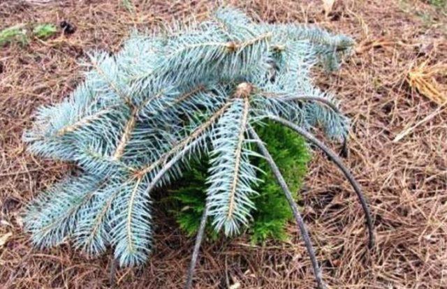 Можжевельник казацкий Тамарисцифолия (Tamariscifolia): описание и фото в дизайне сада