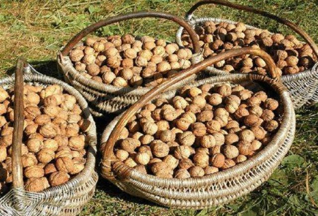 Как сушить грецкие орехи: в духовке, электросушилке, на воздухе