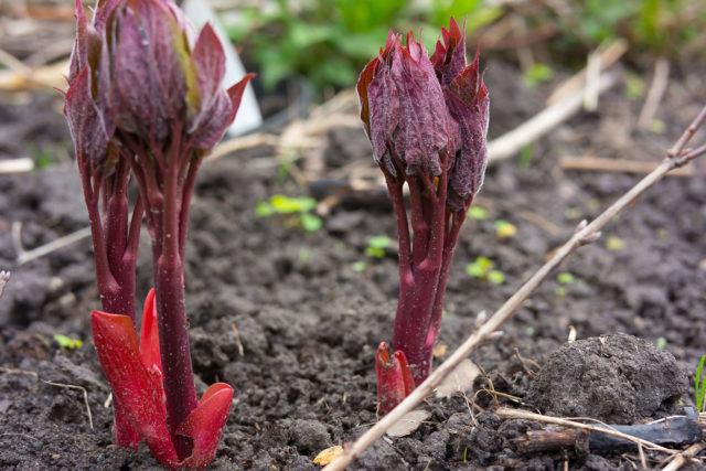 Как размножить пионы осенью, весной