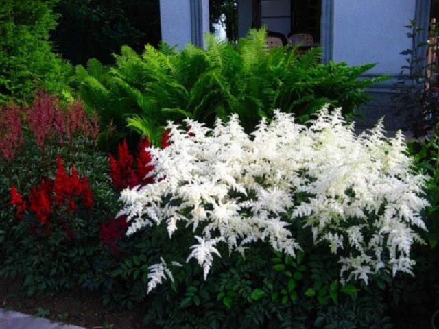Астильба с белыми цветами: сорта с фото
