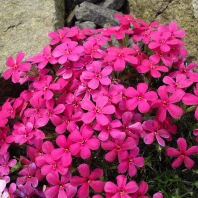 Многолетние почвопокровные (стелющиеся) флоксы: сорта с фото и описанием