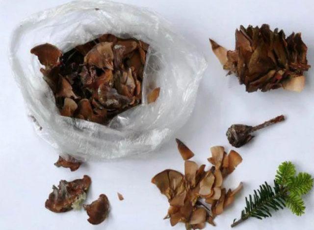 Пихта: посадка и уход весной, осенью в открытом грунте