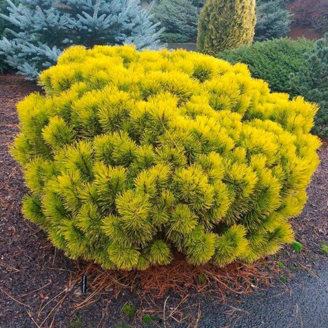 Когда и как цветет сосна: фото дерева, хвои, размеры кроны