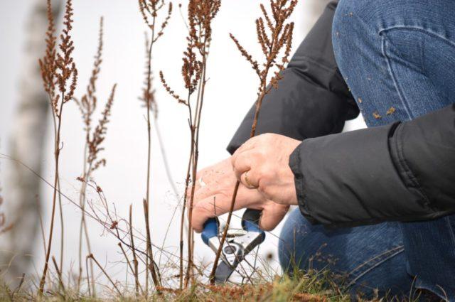 Надо ли обрезать астильбу на зиму: сроки, фото, видео
