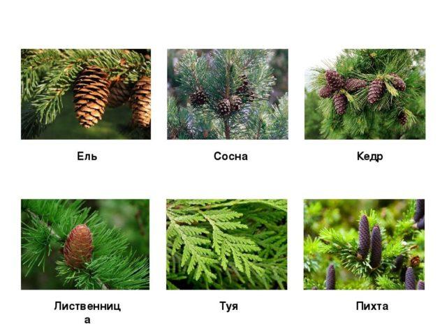 Как выглядит лиственница: фото, где и как растет, как цветет, виды и сорта