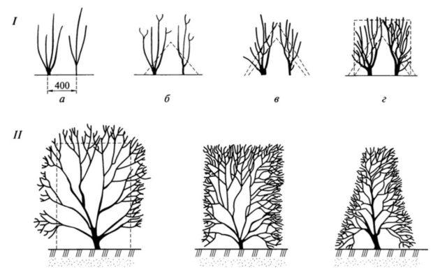 Как сажать и обрезать барбарис осенью, и как подготовить к зиме