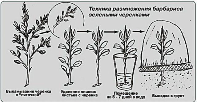 Размножение барбариса: черенками, семенами, отводками, делением куста