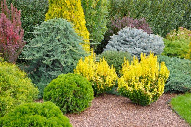 Барбарис в ландшафтном дизайне: фото, сорта для живой изгороди