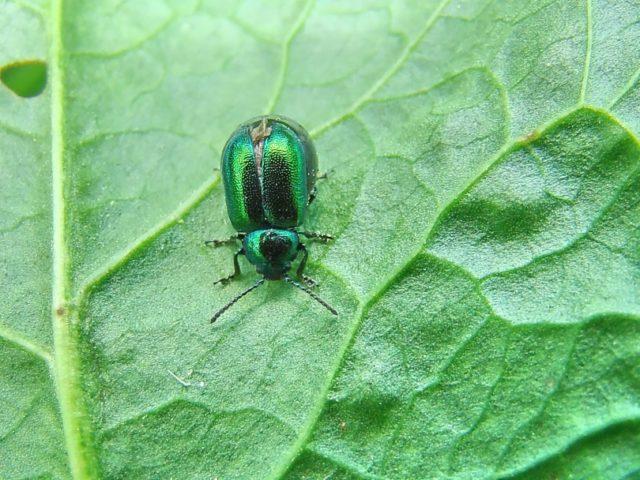 Листья щавеля в дырочку: что делать, как избавиться от зеленых жучков