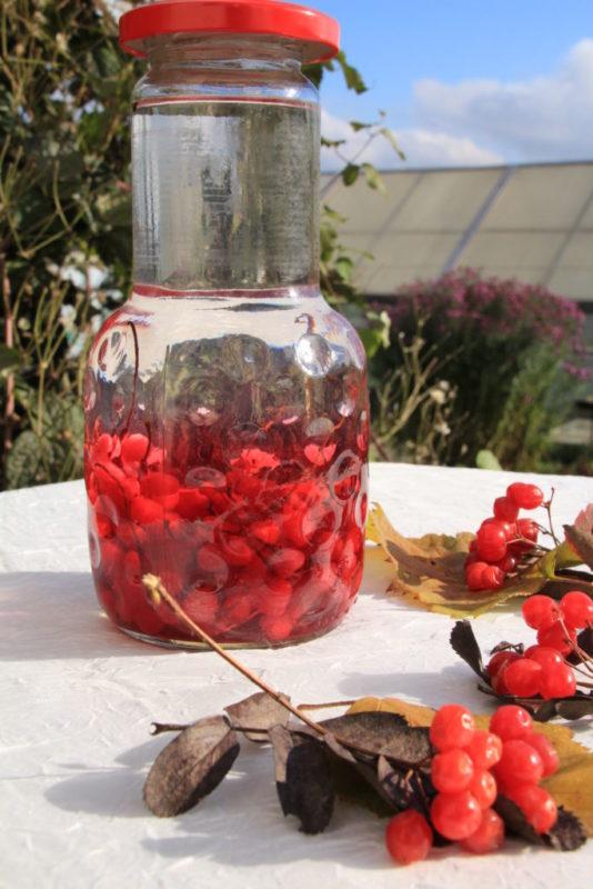 Ягоды лимонника: полезные свойства, применение, противопоказания