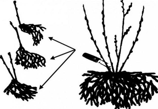 Размножение лимонника китайского: семенами, черенками, отводками
