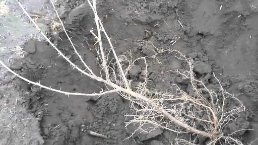 Пересадка крыжовника осенью, весной на новое место