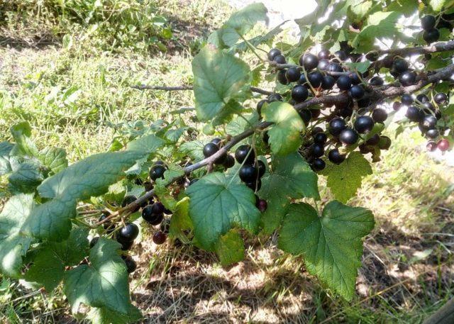 Черная смородина Голубка: описание, посадка и уход