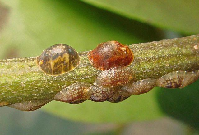 Вредители, болезни крыжовника и способы лечения, борьбы с ними