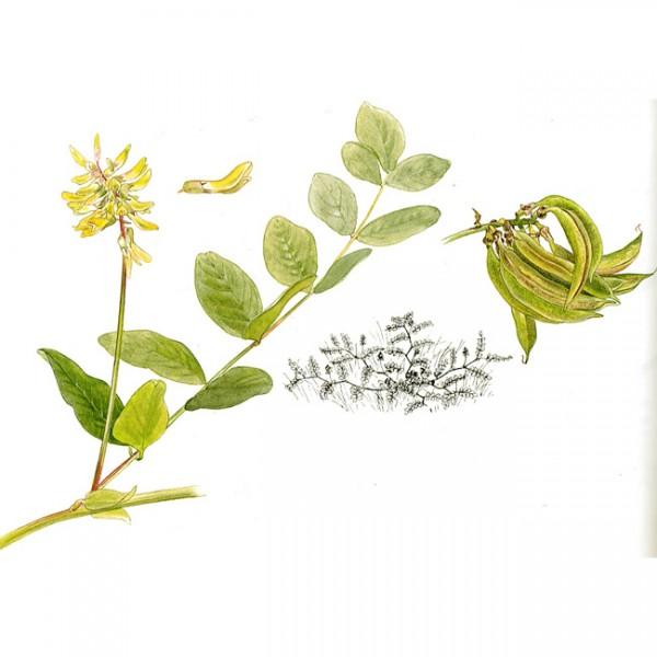 Астрагал сладколистный (солодколистный): лечебные свойства, фото