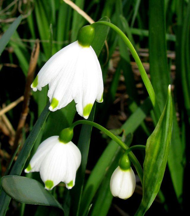 Белоцветник летний: описание растения, посадка и уход, фото