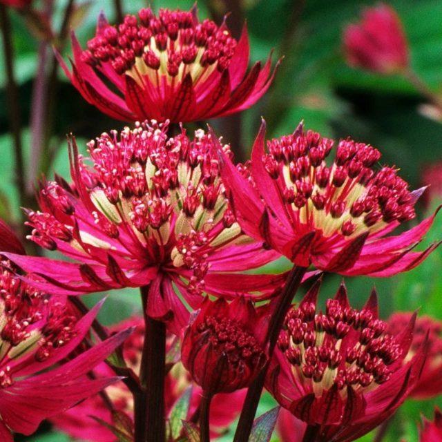 Цветок звездовка (астранция): описание и фото сортов, видов