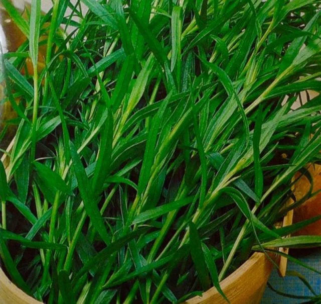 Эстрагон (тархун): как выглядит, где растет, фото растения, применение