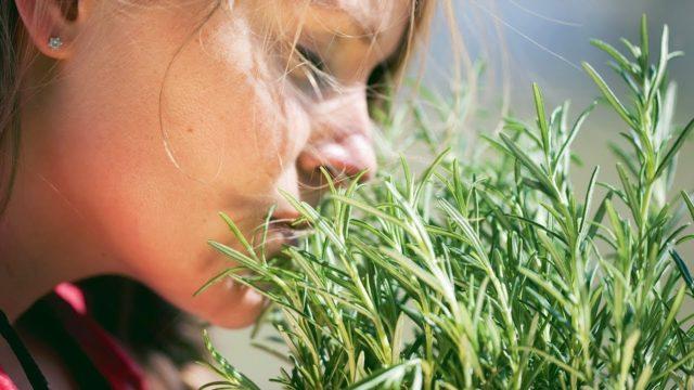 Применение розмарина в кулинарии: как выглядит, пахнет приправа, фото