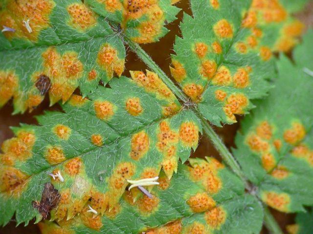Таволга (лабазник) Venusta Magnifica (Венуста Магнифика): описание, фото