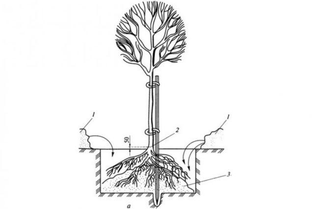 Черемуха виргинская: описание и фото, посадка и уход