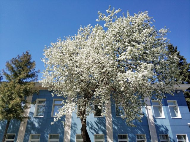 Черемуха: как выглядит, когда цветет, в каком месяце, фото ягод, дерева