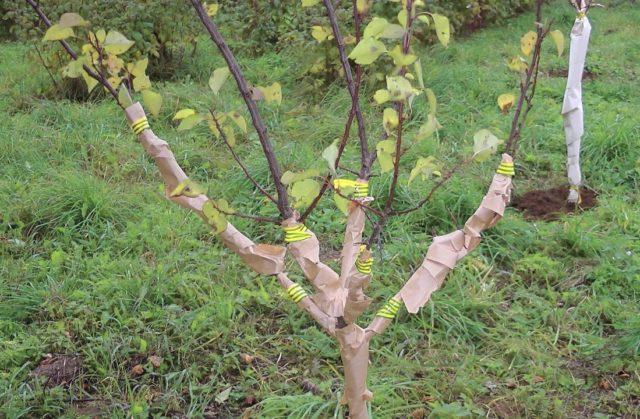 Как вырастить и ухаживать за персиком в открытом грунте