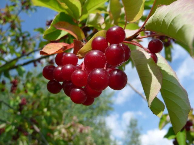 Церападус, падоцерус: описание, фото гибридов вишни и черемухи